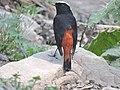 White-capped Redstart, near Solan, Himachal Pardes, India.jpg