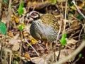 White-cheeked Partridge (Arborophila atrogularis), Nameri NP, Sotinpur, Assam (cropped).jpg