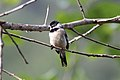 White-collared Seedeater (Sporophila torqueola) (7264653912).jpg