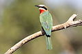 White-fronted Bee-eater, Merops bullockoides, at Kruger National Park, South Africa (20931743896).jpg