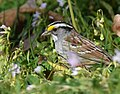 White-throated Sparrow (playing around with cropping) (31672887303).jpg