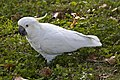 White Cockatoo eating clover-1 (5660422766).jpg