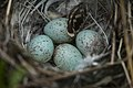 White Crowned Sparrows Nest (6187118808).jpg