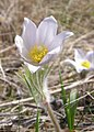 White Pasque Flower.jpg