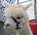 White alpaca (Vicugna pacos) with bridle.jpg
