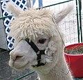 White alpaca (Vicugna pacos) with bridle.jpg