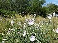 Wienerberg Summer flower.JPG