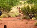 Wild dog - Dingo!.jpg