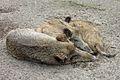 Wildschweine Tierpark Berlin 822-704-(118).jpg
