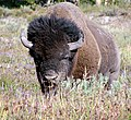 Wise Old Bison, Yellowstone, 2011 (6288698333).jpg