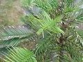 Wollemia nobilis 2 29 08 2009.JPG
