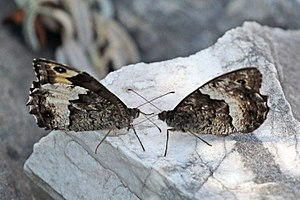 Grayling (butterfly) - Grayling male (right) courting female (left)