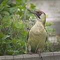 Woodpecker in a garden (51222692014).jpg