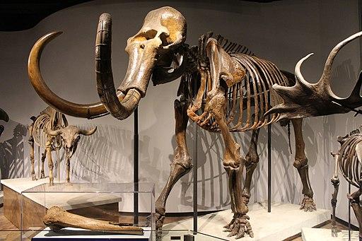Woolly Mammoth-Field Museum
