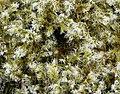 Wooly Hair Moss Racomitrium lanuginosum. (39425410161).jpg