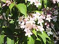 Wzwz tree 14d Kolkwitzia amabilis.jpg
