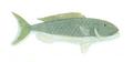 XRF-Aprion virescens.png