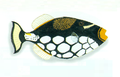 XRF-Balistoides conspicillum.png