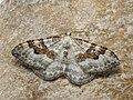 Xanthorhoe montanata - Silver-ground carpet - Ларенция щавелевая (42622458531).jpg
