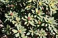 Yaiza - LZ-704 - Euphorbia regis-jubae 02 ies.jpg