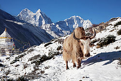 Yak near shrine in Nepal.jpg
