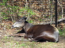 Yellow-backed Duiker 2.jpg