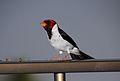 Yellow-billed Cardinal (Paroaria capitata) (26464465365).jpg