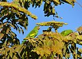 Yellow-chevroned Parakeets (Brotogeris chiriri) on Combretum flowers ... (31743137326).jpg