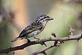 Yellow-fronted tinkerbird, Pogoniulus chrysoconus, at Rust de Winter Dam, South Africa. (45364883194).jpg