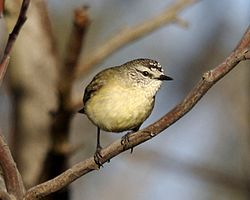 Yellow-rumped Thornbill (Acanthiza chrysorrhoa).jpg