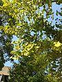 Yellow and green leaves of ginkgo biloba trees in Hakozaki Campus, Kyushu University.jpg
