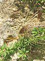 Ypthima ypthimoides Moore, 1881 – Palni Four-ring at Mannavan Shola, Anamudi Shola National Park, Kerala (25).jpg