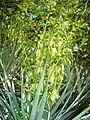 Yucca-rigida-20080326-2.JPG