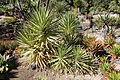 Yucca aloifolia - San Francisco Botanical Garden - DSC09794.JPG