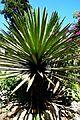 Yucca carnerosana in Jardin des plantes de Montpellier.jpg