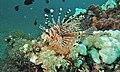Zebra Turkeyfish (Dendrochirus zebra) (6059716988).jpg