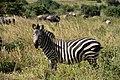 Zebras, Tarangire National Park (2) (28431009540).jpg
