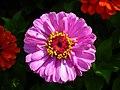 Zinnia Flowers گل آهاری 07.jpg
