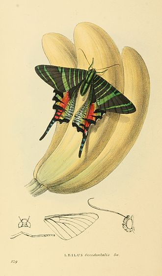 William John Swainson - In this Zoological Illustrations lithograph Swainson depicted Urania sloanus, a now extinct species