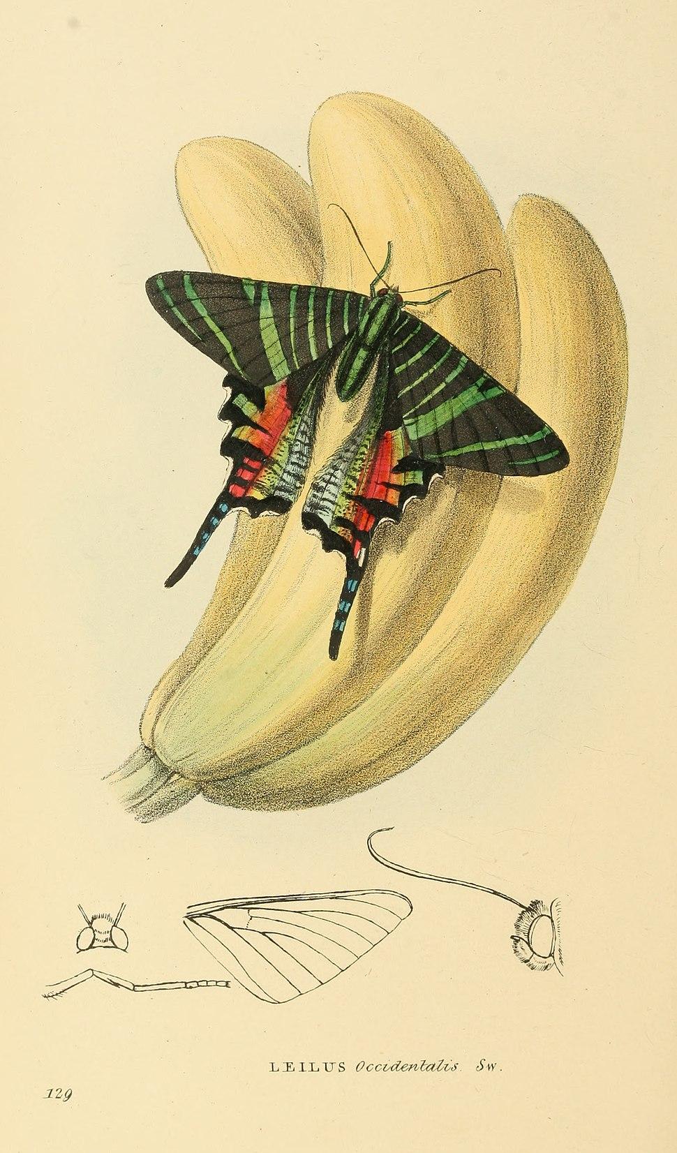 Zoological Illustrations Volume III Series 2 129