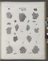 Zoologie. Polypes. Flustres (NYPL b14212718-1268626).tiff