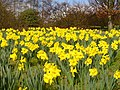 """A Host of Golden Daffodils"" - geograph.org.uk - 1772954.jpg"