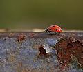 """"""" Ladybird,ladybird """" (6145298824).jpg"""