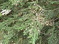 Šištičky na stromě v parčíku.jpg