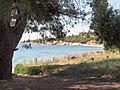 Ελιά - panoramio (3).jpg