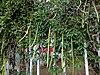 Μπιγκόνια η ονυχωτή - Bignonia Unguis Cati.jpg