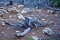 Χλωρίδα Σίφνου 8.jpg