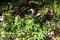 Анемона жовтецева (Anemone ranunculoides) на тлі не розірваного снаряду Граду.jpg
