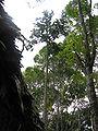 Бразилиопунция-растение.jpg