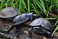 Дендропарк Олександрія , черепахи.jpg